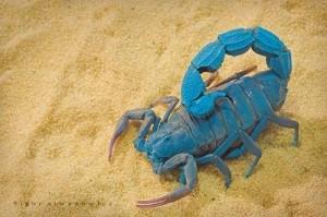 blue-scorpion-300x199